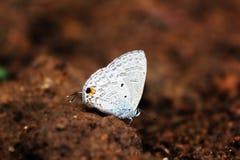 Gramowy błękit jest małym motylem znajdującym w India który należy Lycaenids rodzinni błękity lub obraz stock