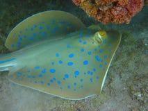 Grampo-peixes Imagens de Stock Royalty Free