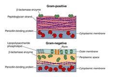 Grampositieve en negatieve bacteriën Stock Afbeeldingen