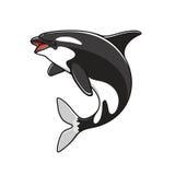 Grampus lub orka, skokowy zabójcy wieloryb Zdjęcia Royalty Free