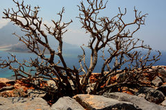 Gramvousa island, Crete! Thorny bush!. Amazing Crete Royalty Free Stock Photography
