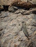 Gran卡纳里亚沙子蚂蚱Sphingonotus guanchus 免版税图库摄影