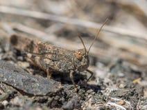 Gran卡纳里亚沙子蚂蚱Sphingonotus guanchus 库存照片