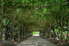 Gran árbol de la glicinia en el parque de la flor fotos de archivo
