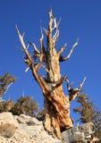 Gran árbol de pino de Bristlecone del lavabo Foto de archivo libre de regalías