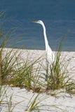 Gran acecho del Egret (albus del Casmerodius) imagen de archivo