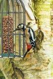 Gran alimentación importante manchada de Dendrocopos de la pulsación de corriente en nueces de un alimentador del pájaro Imagen de archivo libre de regalías