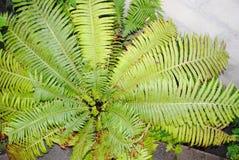Gran arbusto verde del helecho Foto de archivo libre de regalías