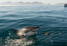 Gran ataque del tiburón blanco foto de archivo