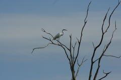 Gran aterrizaje del Egret Foto de archivo libre de regalías