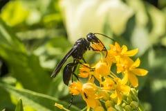 Gran avispa negra -- Pennsylvanicus de Sphex Foto de archivo libre de regalías