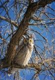 Gran búho de cuernos del ` sabio de Ol Foto de archivo