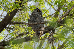 Gran búho de cuernos en los árboles Foto de archivo libre de regalías