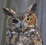 Gran búho de cuernos, un ojo de las persianas Foto de archivo libre de regalías