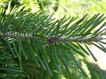 Gran balsam Abies balsameaen - nära övre Royaltyfri Bild
