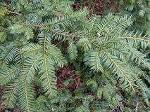 Gran balsam Abies balsameaen - nära övre Royaltyfria Foton