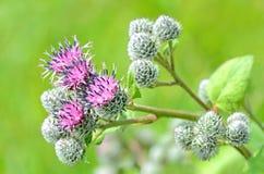 Gran bardana floreciente (lappa del Arctium) Fotografía de archivo libre de regalías