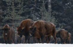 Gran Brown Bison Wisent Go Along At invierno salvaje Forest Couple European Aurochs Bison, Bison Bonasus Walk Among The Tre de do fotos de archivo