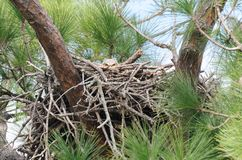Gran buho de cuernos del bebé - peekaboo del virginianus del bubón Fotografía de archivo