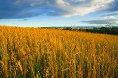 Gran campo rural con los oídos maduros del centeno en la puesta del sol Fotos de archivo
