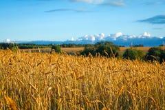 Gran campo rural con los oídos maduros del centeno en la puesta del sol Imagen de archivo