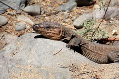 Gran Canaria ödla - Gallotia stehlini Royaltyfria Bilder