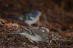 Gran Canaria blue chaffinch Fringilla polatzeki feeding. Royalty Free Stock Images
