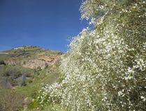 Gran Canaria, Caldera de Bandama, retama royaltyfria foton