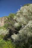 Gran Canaria, Caldera de Bandama, retama arkivbild
