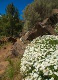 Gran Canaria, Caldera de Tejeda. Flowering plants in April, canarian marguerite daisy by pathside royalty free stock image