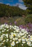 Gran Canaria, Caldera de Tejeda. Flowering plants in April, Roque Nublo in teh background royalty free stock images
