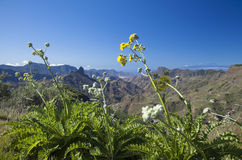 Gran Canaria, Caldera de Tejeda, January. Gran Canaria, Caldera de Tejeda , flowering Sonchus acaulis on the foreground stock images