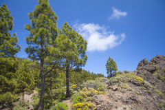 Gran Canaria, Canarian Pine trees Royalty Free Stock Photography