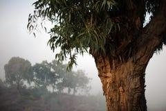 GRAN CANARIA, ESPAÑA - 6 DE NOVIEMBRE DE 2018: Árbol grande en el fondo de otros árboles imagenes de archivo