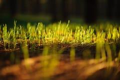 GRAN CANARIA, ESPAÑA - 6 DE NOVIEMBRE DE 2018: Pequeña hierba verde joven que crece a través de las plantas viejas fotos de archivo