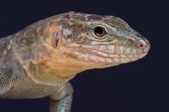 Gran Canaria giant lizard / Gallotia stehlini Royalty Free Stock Photos