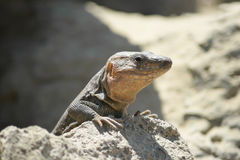 Gran Canaria giant lizard royalty free stock photo