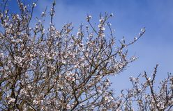 Gran Canaria, January. Beautiful natural floral background of flowering almonds, Gran Canaria, January royalty free stock image