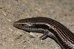 Free Gran Canaria Skink - Chalcides Sexlineatus Royalty Free Stock Image - 44680476