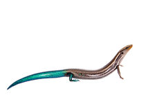 Gran Canaria skink, on white Stock Photo