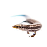 Gran Canaria skink, on white Royalty Free Stock Photo