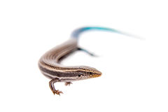 Gran Canaria skink, on white Royalty Free Stock Images