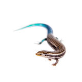 Gran Canaria skink, on white Stock Images