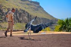 GRAN CANARIA, SPAIN - MARCH 10 2017 - Marabou stork bird in birds of prey show at Palmitos Park in Maspalomas, Gran Canaria, Spain Stock Photography