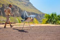 GRAN CANARIA, SPAIN - MARCH 10 2017 - Marabou stork bird in birds of prey show at Palmitos Park in Maspalomas, Gran Canaria, Spain Stock Image