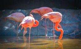 GRAN CANARIA, SPAIN - MARCH 10 2017 - Pink flamingo birds at Palmitos Park Maspalomas, Gran Canaria, Spain Stock Photography