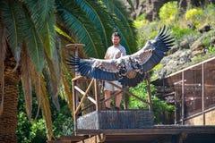 GRAN CANARIA, SPAIN - MARCH 10 2017 - Vulture in free flight at Palmitos Park Maspalomas, Gran Canaria, Spain Royalty Free Stock Photo
