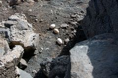 A hen has left home and laid her eggs in the mountains of Gran Canaria royalty free stock photo