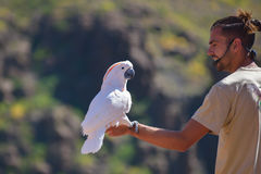 GRAN CANARIA, SPANJE - MAART 10 2017 - Kaketoe in exotische vogels toont bij Palmitos-Park in Maspalomas, Gran Canaria, Spanje Stock Foto