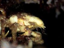 Gran cangrejo de araña Lago oleocalcáreo, Escocia imagen de archivo